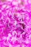 розовый гиацинт Стоковые Изображения
