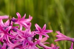 розовый гиацинт Стоковые Изображения RF