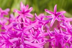 розовый гиацинт Стоковое фото RF