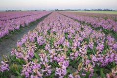 Розовый гиацинт Hyacinthus Стоковая Фотография RF