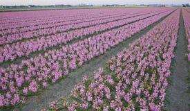 Розовый гиацинт Hyacinthus Стоковые Изображения