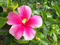 Розовый гибискус в саде Стоковая Фотография