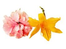 Розовый гибискус и желтый daylily изолированные на белой предпосылке стоковая фотография rf
