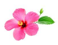 Розовый гибискус Стоковые Фотографии RF
