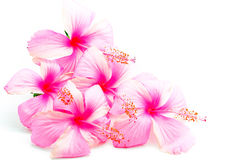 Розовый гибискус Стоковое Изображение