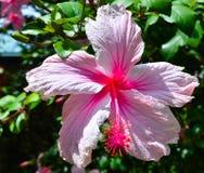Розовый гибискус Стоковые Изображения