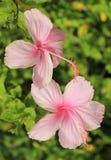 Розовый гибискус Стоковые Изображения RF
