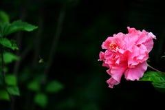 Розовый гибискус Стоковая Фотография RF