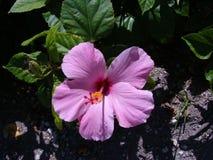 Розовый гибискус Стоковая Фотография