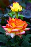 Розовый гибрид розовый и поднимающее вверх бутона близкое Стоковые Фото