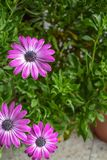 Розовый голубоглазый куст маргаритки Osteospermum стоковое изображение