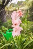 Розовый гладиолус на подаче предпосылки водопотребления для орошения Стоковое фото RF