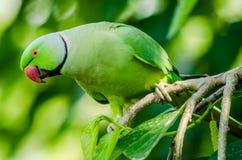 Розовый длиннохвостый попугай кольца - птицы Пакистана Стоковые Изображения