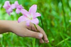 Розовый дождь lilly. Стоковое Фото