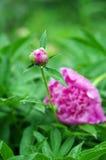 Розовый лепесток стоковые фотографии rf