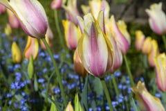 розовый желтый цвет тюльпанов Стоковые Фотографии RF