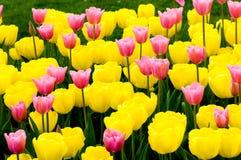 розовый желтый цвет тюльпанов Стоковое Фото