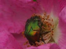 Розовый жук-чефер Стоковое Изображение RF