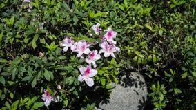 Розовый завод цветка в парке Стоковая Фотография RF