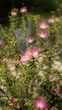 Розовый завод Powderpuff в парке Стоковая Фотография