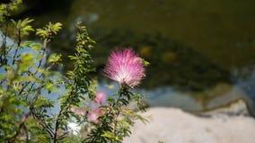 Розовый завод Powderpuff в парке Стоковые Фотографии RF