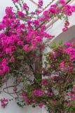 Розовый завод олеандра Стоковое Изображение RF