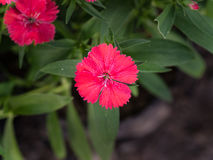 Розовый зацветать цветка гвоздики Стоковая Фотография RF