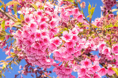 Розовый зацветать цветка Сакуры Стоковые Фото