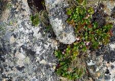 Розовый зацветая кустарник ягоды куропатки стоковая фотография rf
