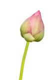 Розовый изолят лотоса Стоковое Изображение