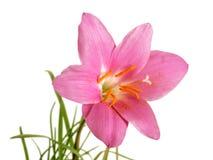 Розовый изолированный первоцвет Стоковые Изображения RF