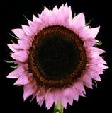 Розовый изолированный солнцецвет стоковое изображение rf
