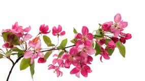 Розовый изолированный цветок яблока Стоковое Фото