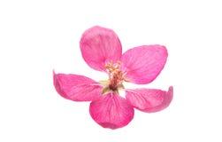 Розовый изолированный цветок яблока Стоковое Изображение