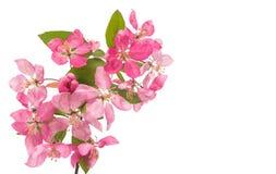 Розовый изолированный цветок яблока Стоковая Фотография