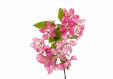 Розовый изолированный цветок яблока Стоковое Изображение RF