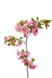 Розовый изолированный цветок яблока Стоковое фото RF