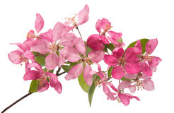 Розовый изолированный цветок яблока Стоковые Фото