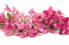 Розовый изолированный цветок яблока Стоковые Изображения RF