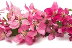 Розовый изолированный цветок яблока Стоковые Изображения