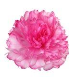 Розовый изолированный Peony Стоковое фото RF