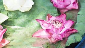 Розовый и белый лотос с зелеными листьями Стоковые Фото