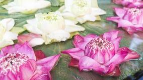 Розовый и белый лотос с зелеными листьями Стоковые Изображения RF