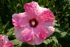 Розовый и белый гибискус Стоковое Изображение
