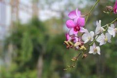 Розовый и белый цветок орхидеи в предпосылке, пинке и белизне сада Стоковая Фотография