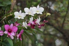 Розовый и белый цветок орхидеи в предпосылке, пинке и белизне сада Стоковое Изображение