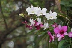 Розовый и белый цветок орхидеи в предпосылке, пинке и белизне сада Стоковые Фото