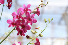 Розовый и белый цветок орхидеи в предпосылке, пинке и белизне сада Стоковое Фото