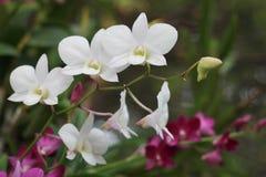 Розовый и белый цветок орхидеи в предпосылке, пинке и белизне сада Стоковая Фотография RF