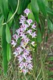 Розовый и белый цветок орхидеи Стоковое Изображение